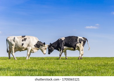Two holstein cows in a green meadow in Gaasterland, Netherlands