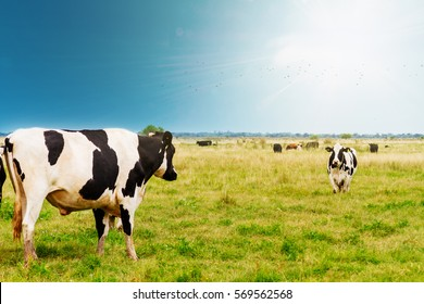 Two Holstein cows walking through a field in Buenos Aires, Argentina
