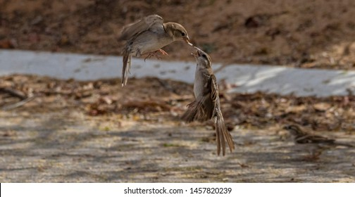 two home sparrow fighting for food, abudhabi, uae