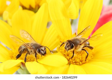 Two Honey Bees collecting Pollen on a Bright Yellow Flower