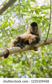 Two hooded Capuchins, Cebus apella, grooming in the nature habitat of Brazil