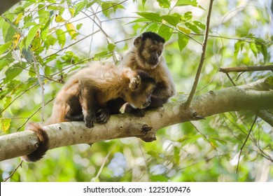 Two hooded Capuchins, Cebus apella, in tree, Pantanal, Brazil