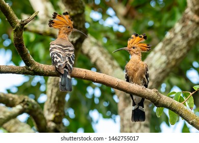 Two Hoopoe perching on longan branch looking at each other