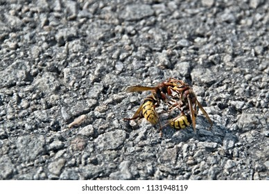 two hornets fight in the sun on the road