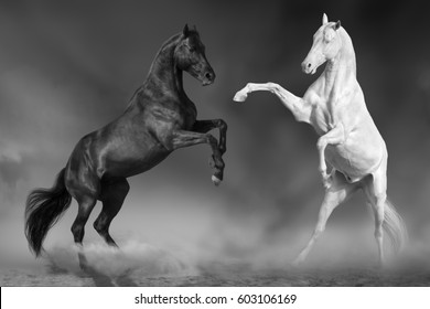 Two horse play and rearing up in desert. Black and white