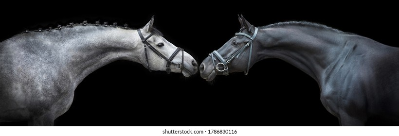 Two Horse portrait in bridle on black background