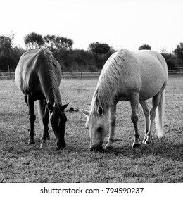 Two horses in black and white