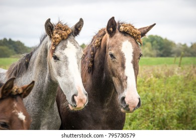 two horses with burdock root in the mane