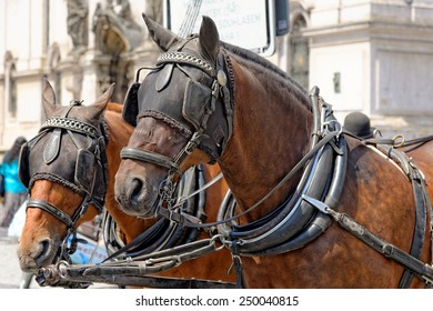 Two horses, close up, are harnessed to a cart for driving tourists In Prague Old Town Square. Czech Republic.