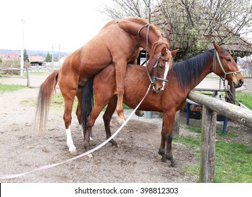 Two horses coupling in animals farm rural scene