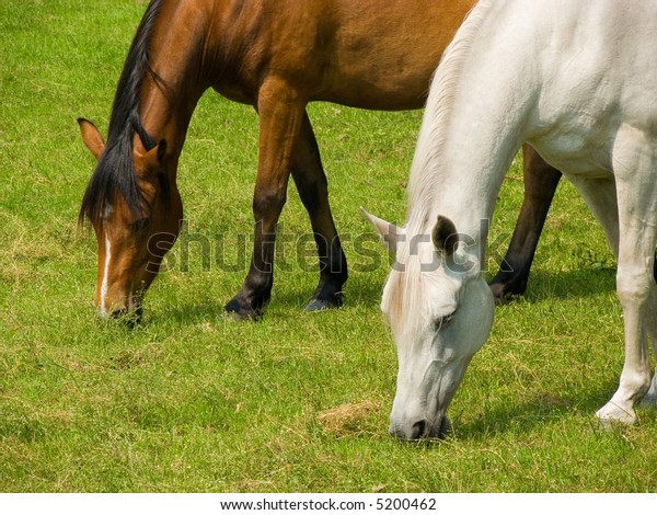 Two horses of different colors and races (european and arabian) grazing peacefully in perfect, harmonic motion side by side in the meadow.