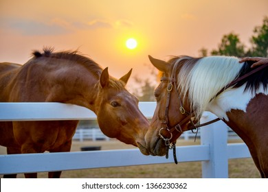 Two horses embracing in friendship. animal portrait on sunset background. Horses in love. Beautiful thoroughbred red brown chestnut horse in a pen.