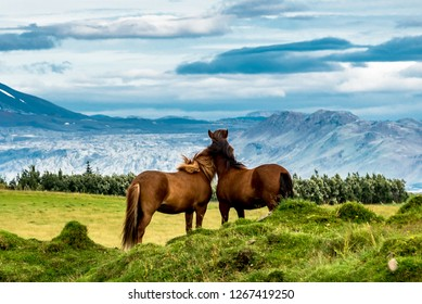 Two horses in the field in Iceland