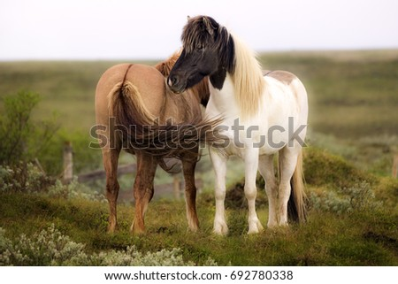 Two horses in a field. Iceland. Horizontal Composition
