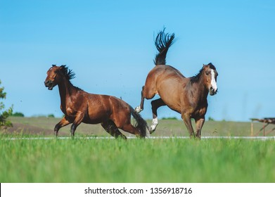 Two horses fight in the field. Horse beats back legs. Dangerous animal. Fight horses