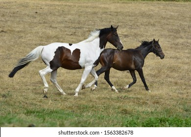Two horses galloping in a meadow
