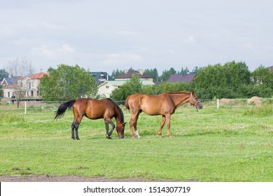 Two horses graze on the green grass.