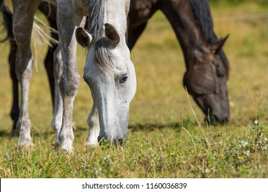 Two horses graze in the paddock