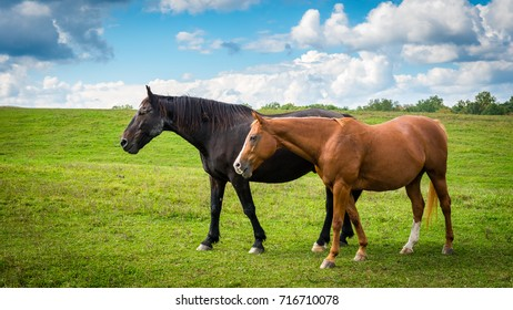 Two horses grazing in a country meadow on a sunny afternoon in late summer