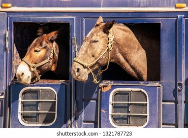 Two horses heads sticking out of windows of old rusty livestock trailer - close-up