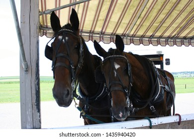 Two horses with horse harnesses, bridles, and blinders with a buggy in the background in Lancaster County, Pennsylvania