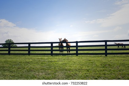 Two horses lean over a fence on a horse ranch. In the backdrop is a beautiful sunny, summer in Kentucky.