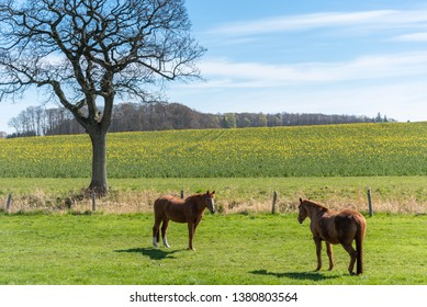 Two horses on a meadow near Damp in Schleswig-Holstein, Germany