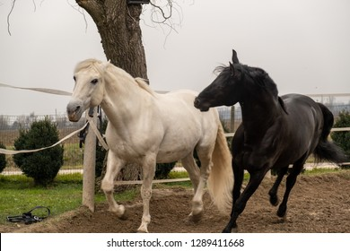 Two horses, one white and one black, playing, eating and having fun together. Horses of different colors in the wild.
