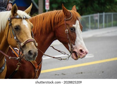 Two horses rest during parade