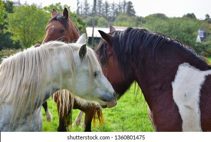 Two horses sniff each other. One is a dappled gray, the other a piebald. Other horses are in the background. Ireland.