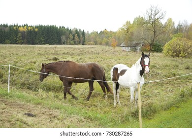 Two horses standing at the field in autumn. Brown horse running. Daylight