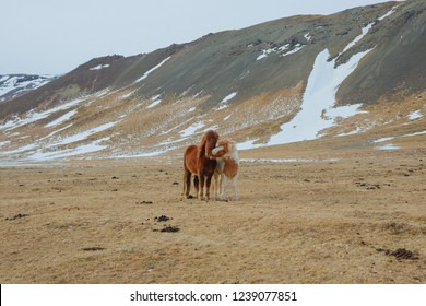 Two horses standing on the field in Iceland. Horses near the mountains.