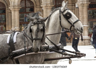 Two horses standing on the street against a background of falling snow. Horses in draught and blinders are harnessed by a pair of two.