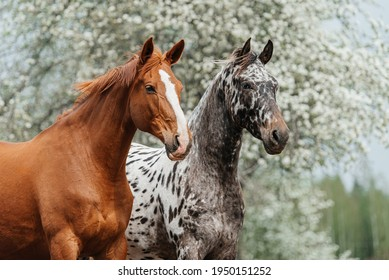 Two horses standing together in summer. Knabstrupper and trakehner breed horses.