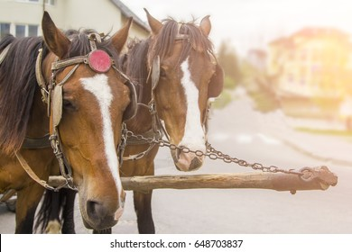 two horses in team close up