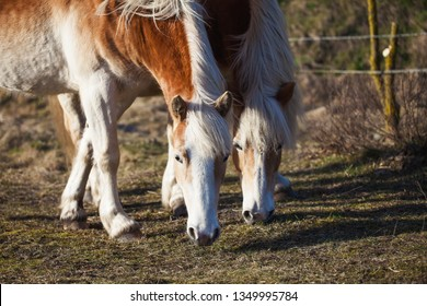 Two horses walking on a field. Animals sunny day on a farm.