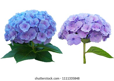 Two Hortensia (Hydrangea) flower branch plant isolated on white background