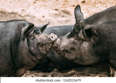 Two Household Pigs Enjoys Kissing Each Other In Farm Yard. Large Black Pig Resting In Sand. Pig Farming.