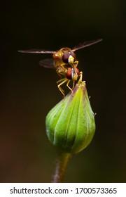 Deux hovermouches s'accouplent sur un bourgeon de fleurs