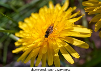 Two hoverflies mating on a plant.