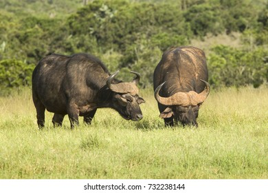 Two huge African buffalo standing and grazing grass in the morning light
