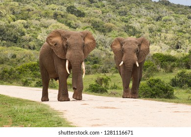 Two huge African elephants with large tusks walking along a gravel road in soft morning sunlight
