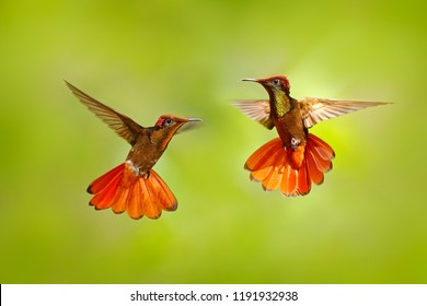Two hummingbird fight. Red and yellow Ruby-Topaz Hummingbird, Chrysolampis mosquitus, flying with open wings, frontal look with glossy orange head, spread tail, Tobago Island, Trinidad and Tobago.