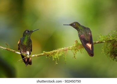 Two hummingbirds, Buff-tailed Coronet,Boissonneaua flavescens, green hummingbird, perched on mossy twig, looking at each other, preparing to fight. Colombia, Rio Blanco Nature Reserve.