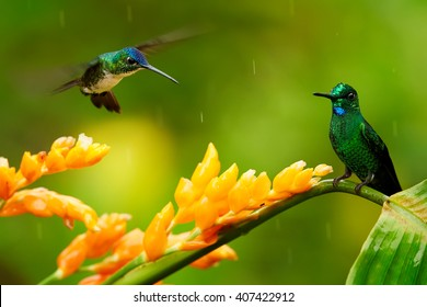 Two hummingbirds, Empress Brilliant, Heliodoxa imperatrix perched on wet stem of orange flower and Andean Emerald, Amazilia franciae hovering over the flower, against green background. Colombia.