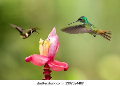Two hummingbirds hovering next to pink flower,tropical forest, Colombia, bird sucking nectar from blossom in garden,beautiful hummingbird with outstretched wings,nature wildlife scene, exotic trip