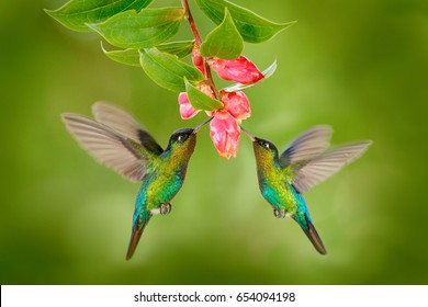 Two hummingbirds with pink flower. Fiery-throated Hummingbirds, flying next to beautiful bloom flower, Savegre, Costa Rica. Action wildlife scene from nature.