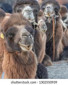 Two hump camel rest at Hunder, Nubra Valley, Ladakh, India
