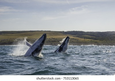 Two humpback whale breaching together, Wild Coast, South Africa.
