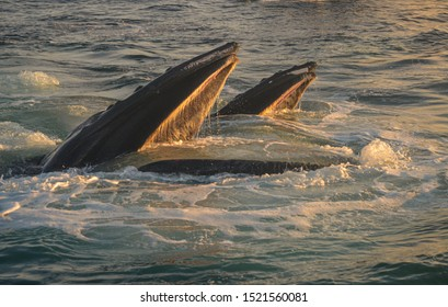 Two humpback whales lunge feeding in early morning light. Great South Channel. Atlantic.